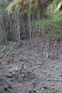 088-il cipresso calvo non può vivere lontano dall'acqua e per far respirare le sue radici deve allungare fuori dal terreno delle specie di tubi legnosi (portatori d'aria)